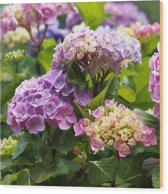 Colorful Hydrangea Blossoms Wood Print