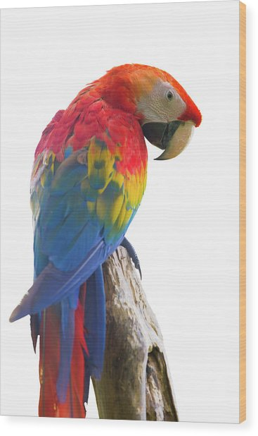 Colorful Parrot Isolated In White Background Wood Print by Anek Suwannaphoom