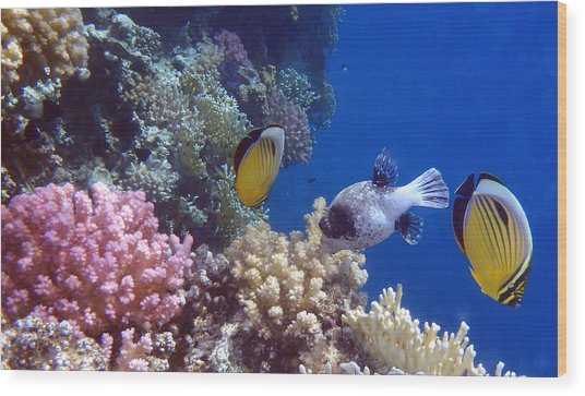 Colorful Red Sea Fish And Corals Wood Print