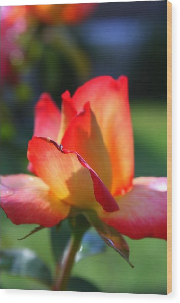 Colorful Rose Wood Print by Donald Tusa