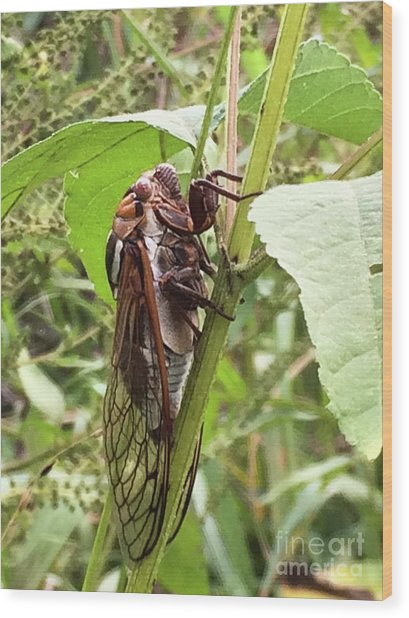Colorful Summer Cicada Wood Print