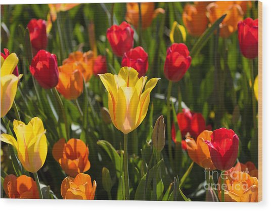 Colorful Tulips Wood Print