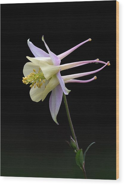 Columbine Wood Print by Barry Culling