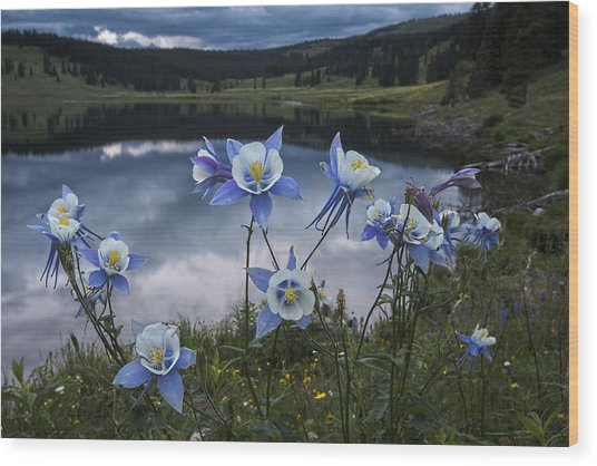 Columbine Blooms In The Rocky Mountains Wood Print