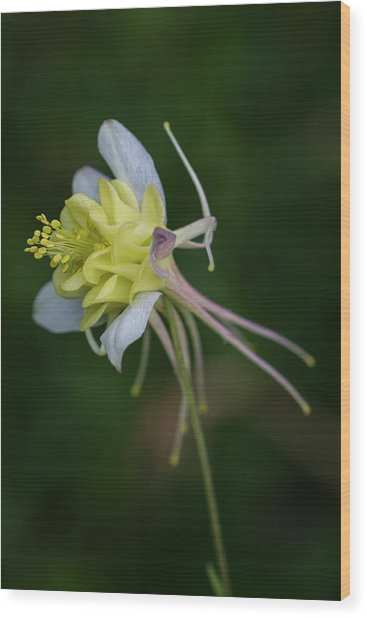 Columbine Oddities Wood Print