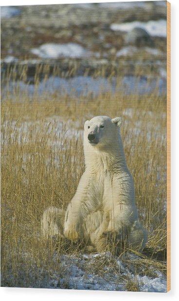 Comfortable Polar Bear Wood Print