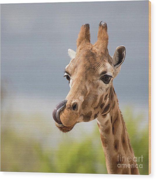 Comical Giraffe With His Tongue Out.  Wood Print