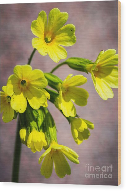 Common Cowslip In The Morning Sunlight Wood Print
