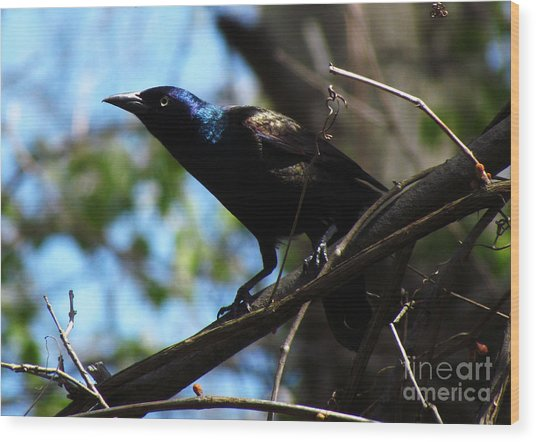 Common Grackle Wood Print by Deborah Johnson