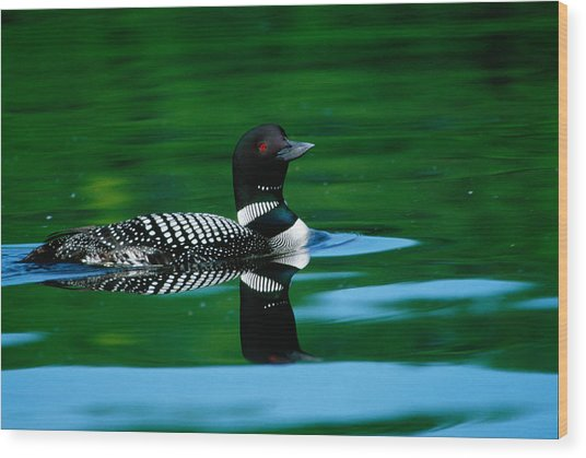 Common Loon In Water, Michigan, Usa Wood Print
