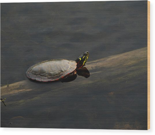 Common Painted Turtle Wood Print