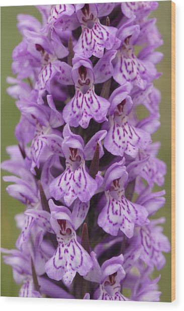 Common Spotted Orchid Wood Print by Liz Pinchen