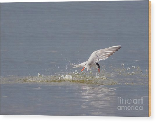 Wood Print featuring the photograph Common Tern - Sterna Hirundo - Emerging From The Water With A Fish by Paul Farnfield