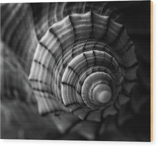 Conch Shell In Black And White Wood Print
