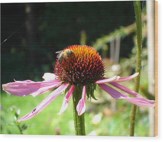 Cone Flower And Honey Bee Wood Print