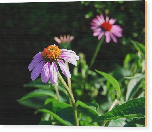 Cone Flower Wood Print by Beverly Cazzell