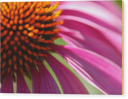 Cone Flower Wood Print by Scott Gould