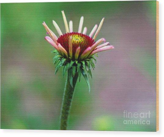 Coneflower Bloom Wood Print