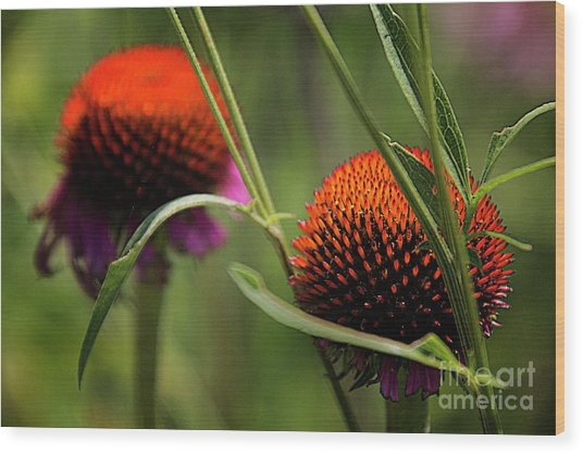 Coneflower Centers Wood Print by Jim Wright