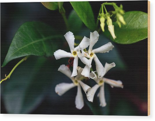 Confederate Jasmine Wood Print