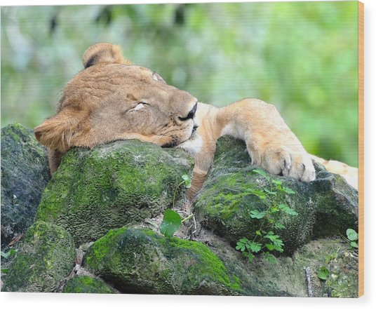Contented Sleeping Lion Wood Print
