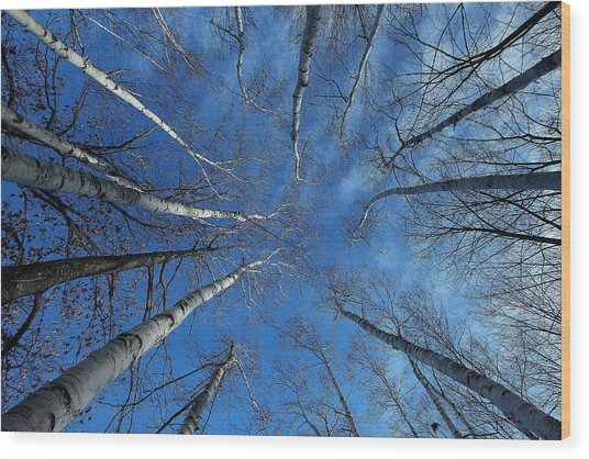 Converging White Birches Wood Print