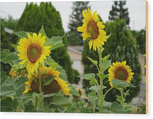 Conversing Sunflowers Wood Print