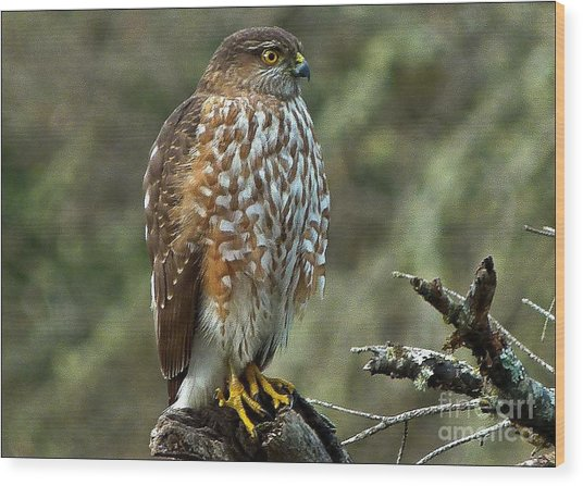 Coopers Hawk Wood Print