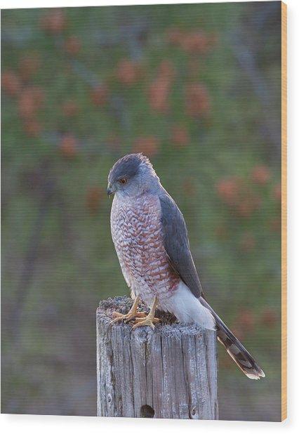 Coopers Hawk Perched Wood Print