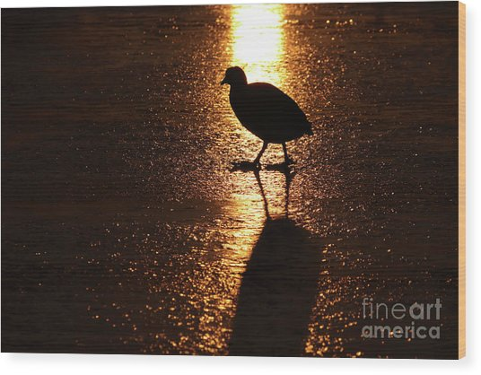 Coot Walks On Golden Ice  Wood Print