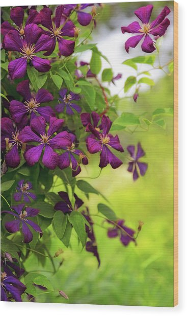 Copious Clematis Wood Print