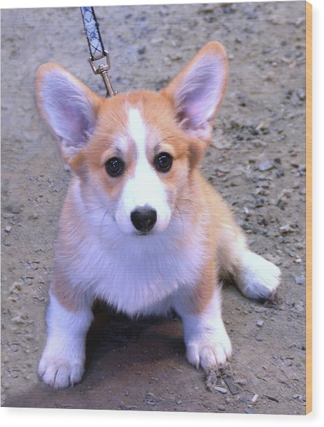 Corgi Puppy Wood Print