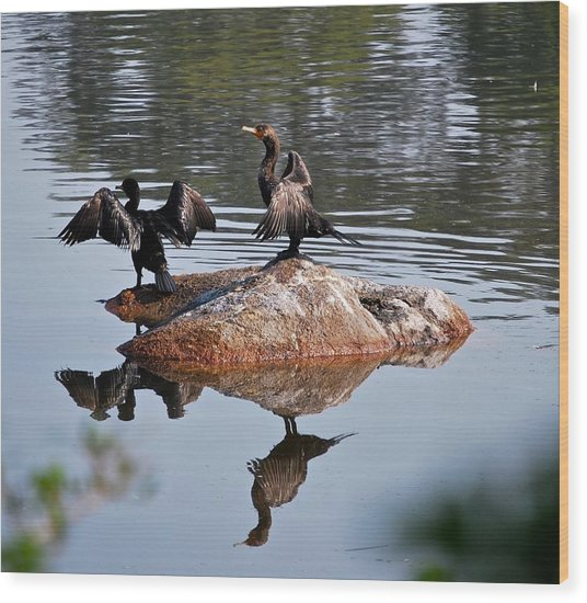Cormorant Duo Reflections  Wood Print