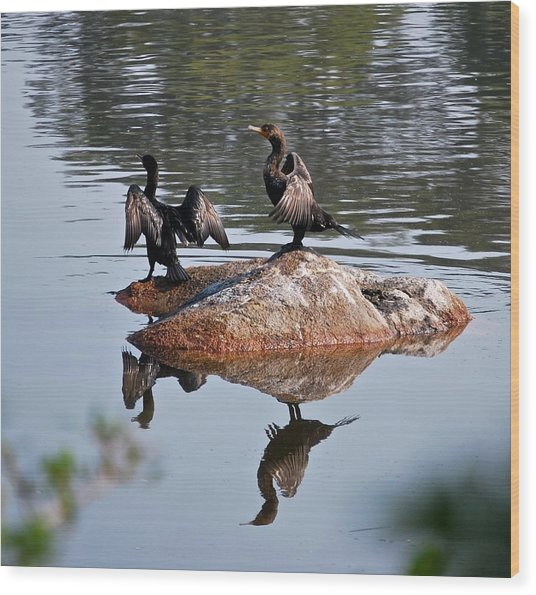 Cormorants Enjoying Warm Sun Wood Print