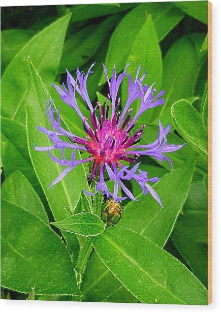 Centaurea Montana Wood Print