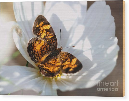 Pearl Crescent Butterfly On White Cosmo Flower Wood Print