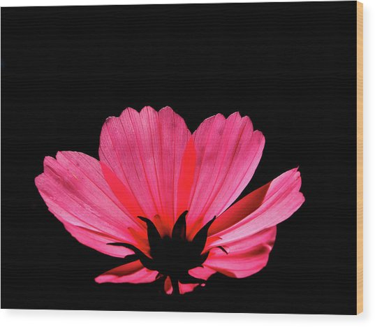 Cosmos Bloom Wood Print