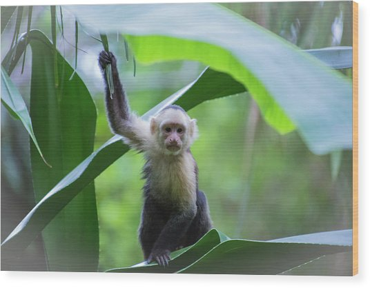 Costa Rica Monkeys 1 Wood Print