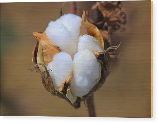 Cotton Boll Wood Print