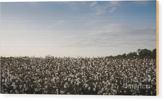 Cotton Field 2 Wood Print