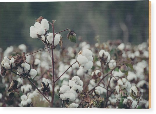 Cotton Field 5 Wood Print