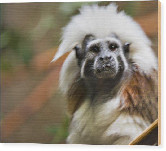Cotton-top Tamarin _ 1a Wood Print