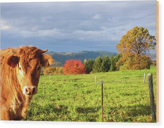 Cow And Autumn Colors  Wood Print