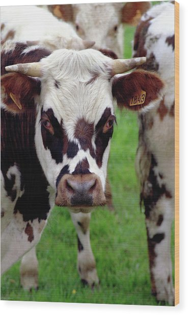 Cow Closeup Wood Print