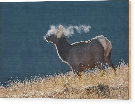 Cow Elk With Steamy Breath Wood Print