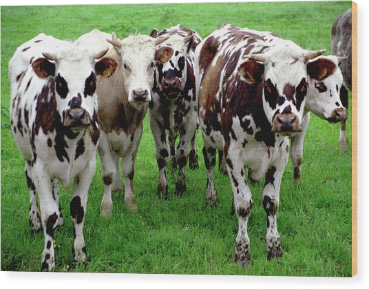 Cow Group Wood Print