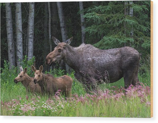 Cow Moose And Twin Calves Wood Print