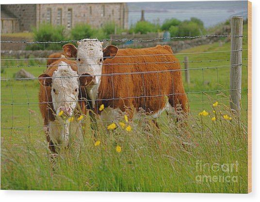 Cows In Iona Wood Print by Louise Fahy