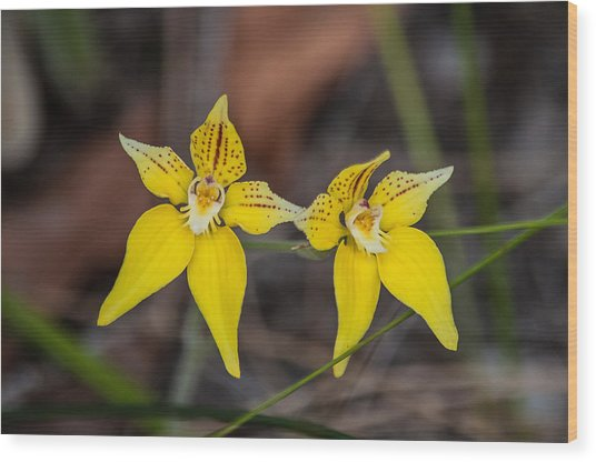 Cowslip Orchid Australia Wood Print