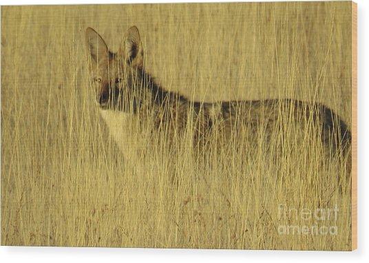Coyote 4 Wood Print